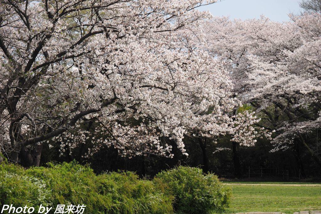 田島ヶ原のサクラソウ_d0358854_12575438.jpg