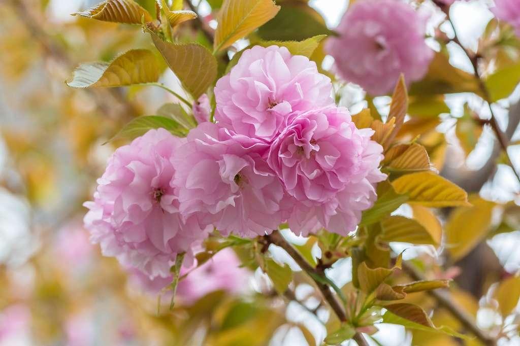 八重桜_f0044056_10024410.jpg