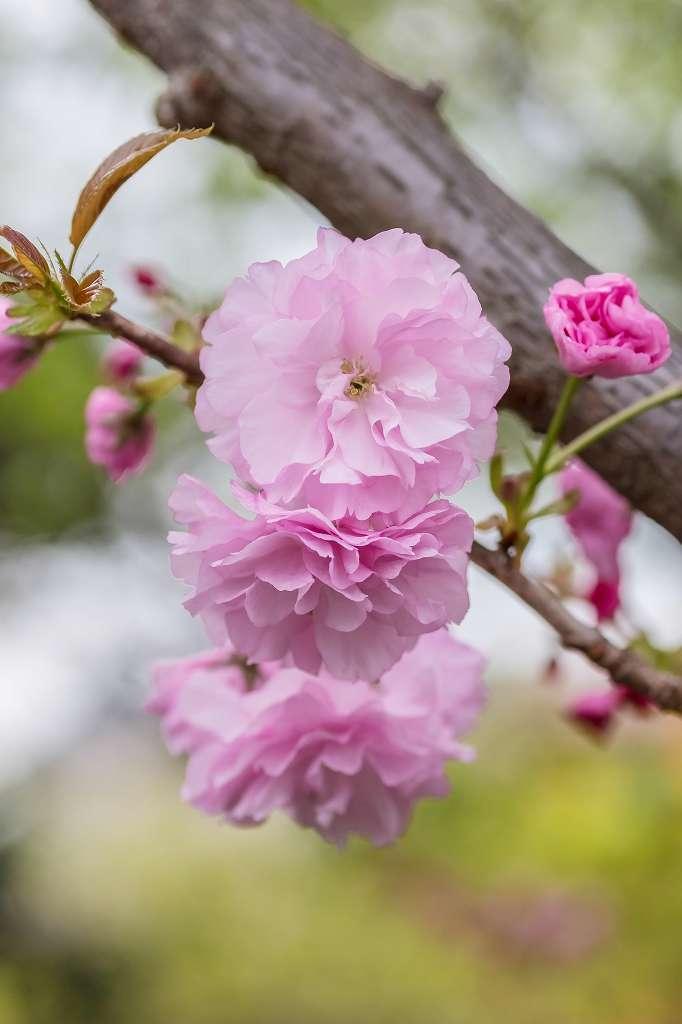 八重桜_f0044056_10030377.jpg
