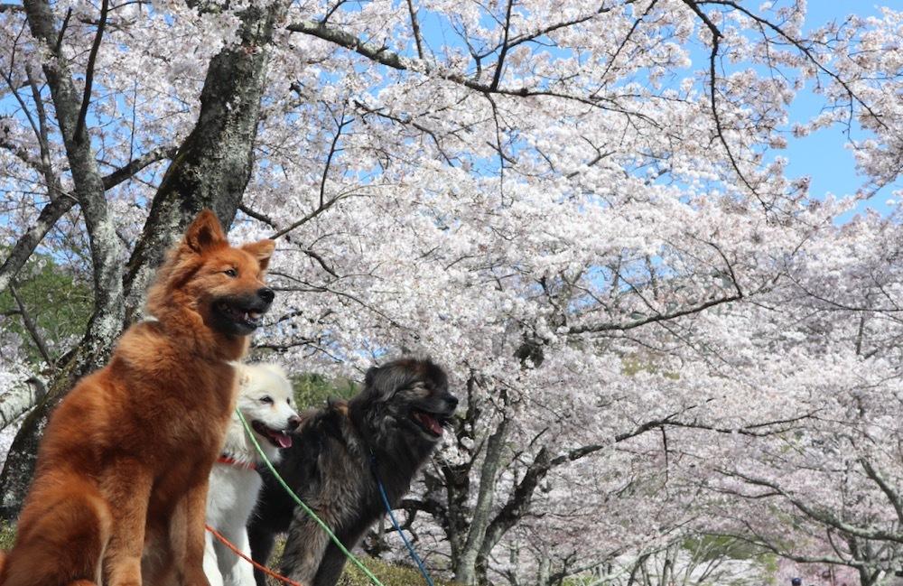 2021・桜 <和らぎの道 桜公園>_a0119263_17084316.jpg