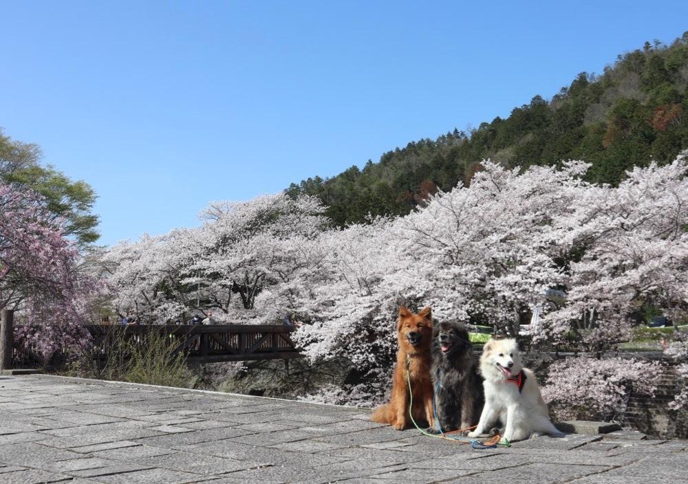 2021・桜 <和らぎの道 桜公園>_a0119263_17084375.jpg