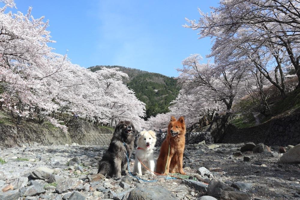 2021・桜 <和らぎの道 桜公園>_a0119263_17084491.jpg