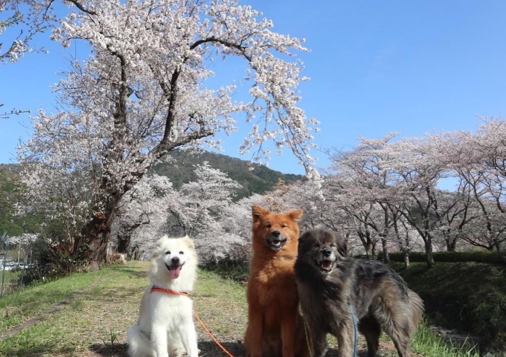 2021・桜 <和らぎの道 桜公園>_a0119263_17084493.jpg