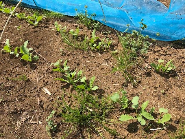 春ダイコン、間引き・追肥、キャベツ苗も植えた4・3_c0014967_05422823.jpg