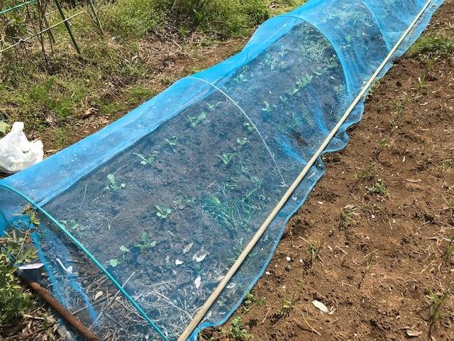 春ダイコン、間引き・追肥、キャベツ苗も植えた4・3_c0014967_05442611.jpg