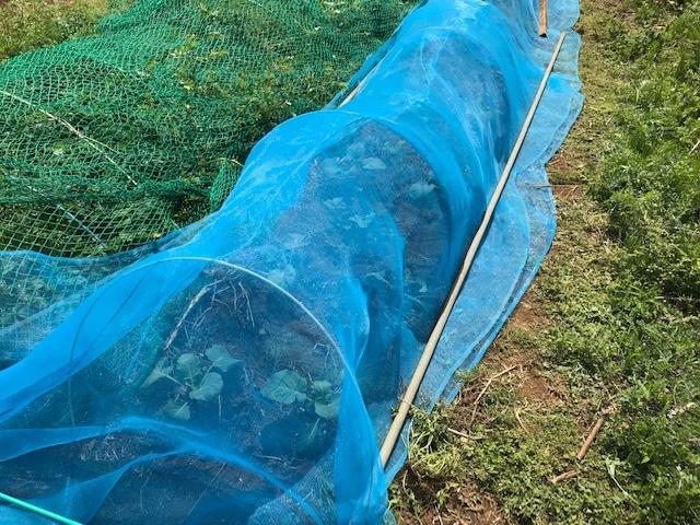 春ダイコン、間引き・追肥、キャベツ苗も植えた4・3_c0014967_05460944.jpg