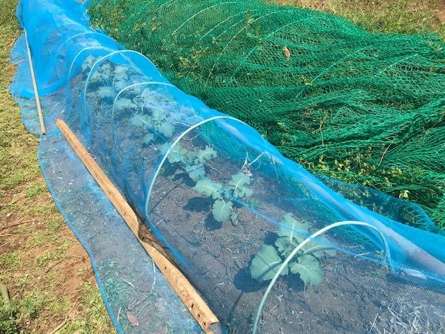 春ダイコン、間引き・追肥、キャベツ苗も植えた4・3_c0014967_05473423.jpg
