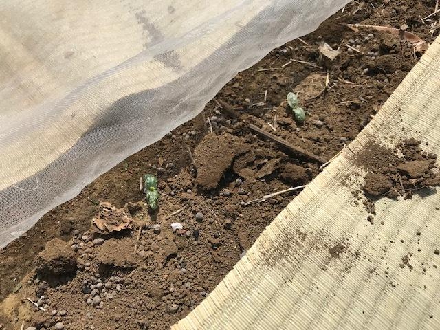 春ダイコン、間引き・追肥、キャベツ苗も植えた4・3_c0014967_05502590.jpg