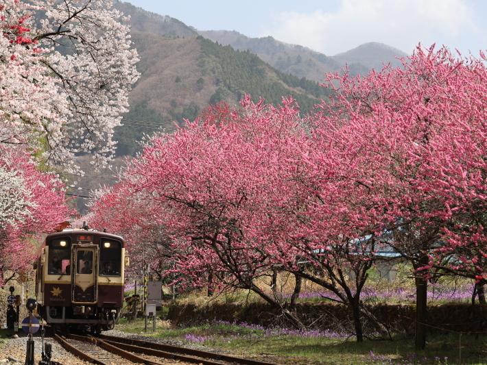 わ鉄神戸駅は花ざかり(2) (2021/3/31撮影)_b0369971_15323404.jpg