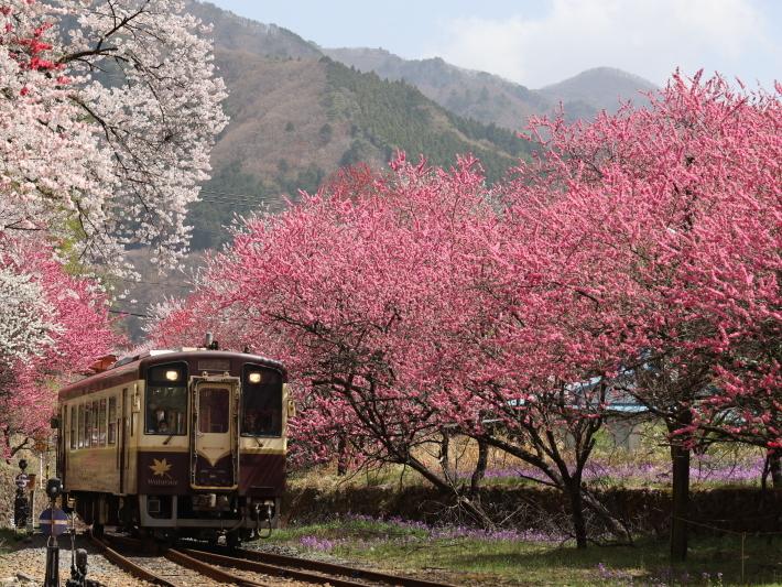 わ鉄神戸駅は花ざかり(2) (2021/3/31撮影)_b0369971_15324986.jpg