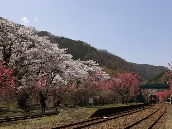 わ鉄神戸駅は花ざかり(2) (2021/3/31撮影)_b0369971_15332742.jpg