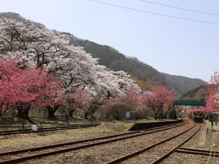 わ鉄神戸駅は花ざかり(2) (2021/3/31撮影)_b0369971_15422842.jpg