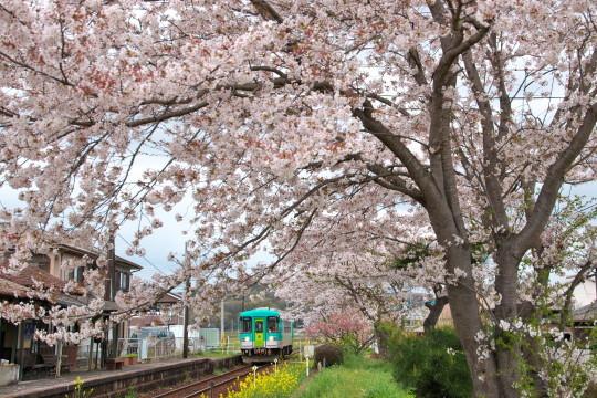 満開の桜_f0266284_14192757.jpg
