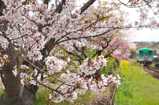 満開の桜_f0266284_14195384.jpg