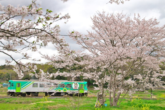 満開の桜_f0266284_14202056.jpg