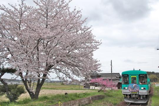満開の桜_f0266284_14213899.jpg