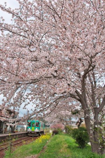 満開の桜_f0266284_14220989.jpg
