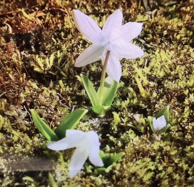 続・この花の名前は??銀杯草でした。_e0397389_18501137.jpeg