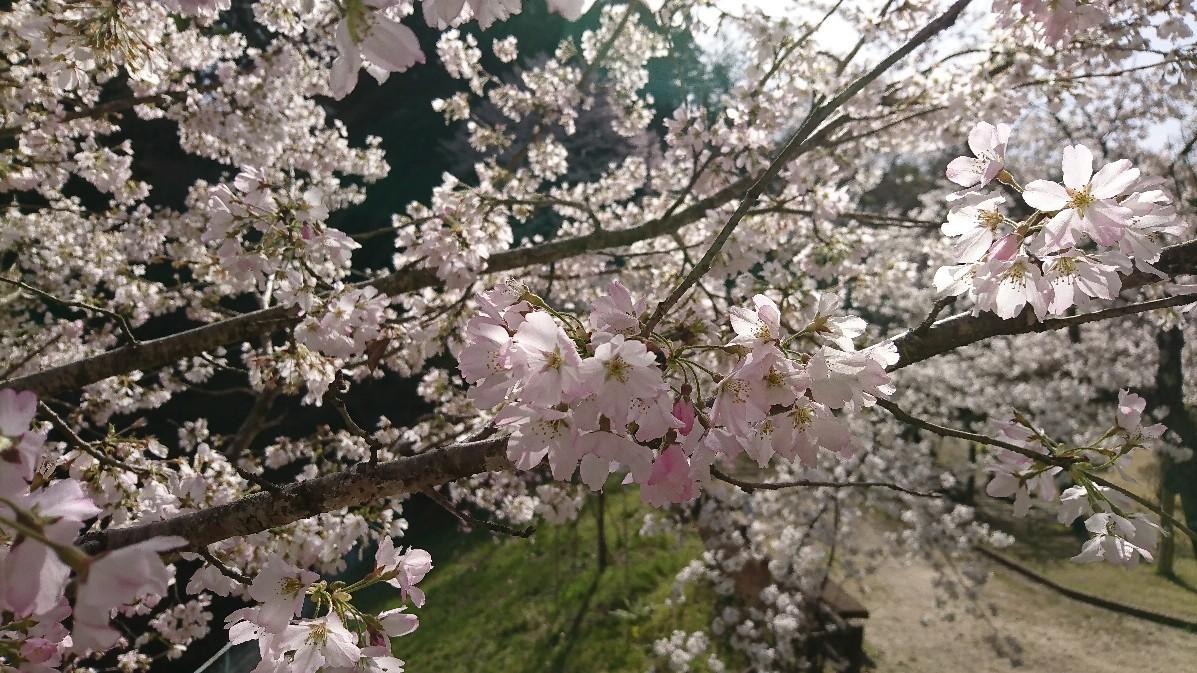 桜_e0124493_15104141.jpg