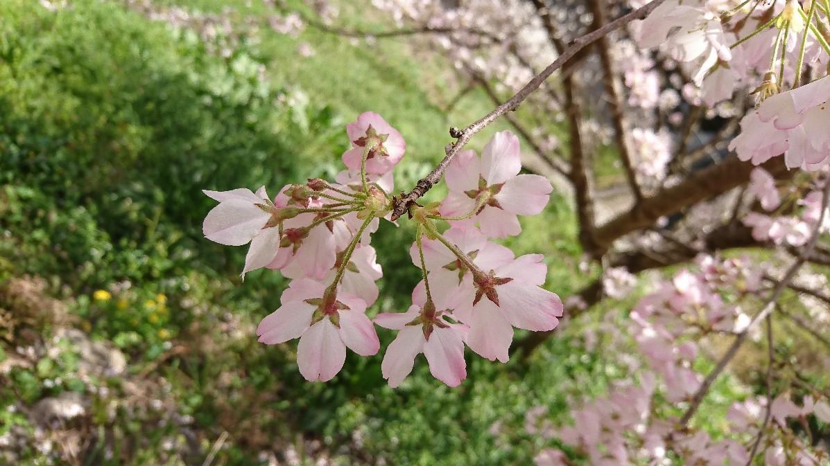 桜_e0124493_15104145.jpg