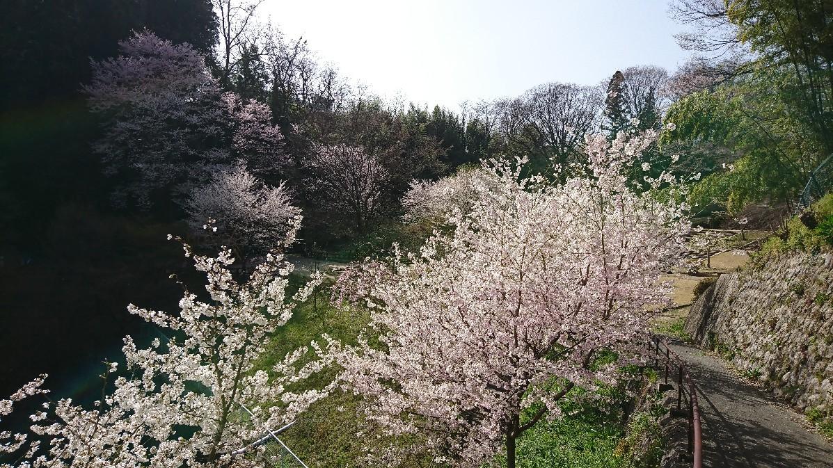 桜_e0124493_15104208.jpg