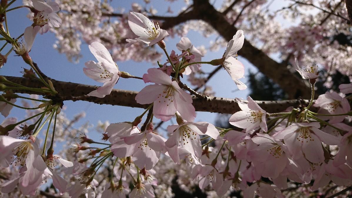 桜_e0124493_15144198.jpg