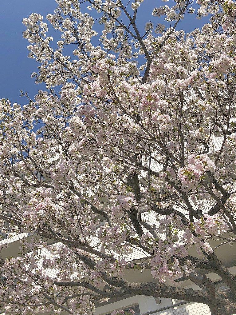 ある風景:Cherry blossom@Yokohama 2021_d0393923_23044852.jpg