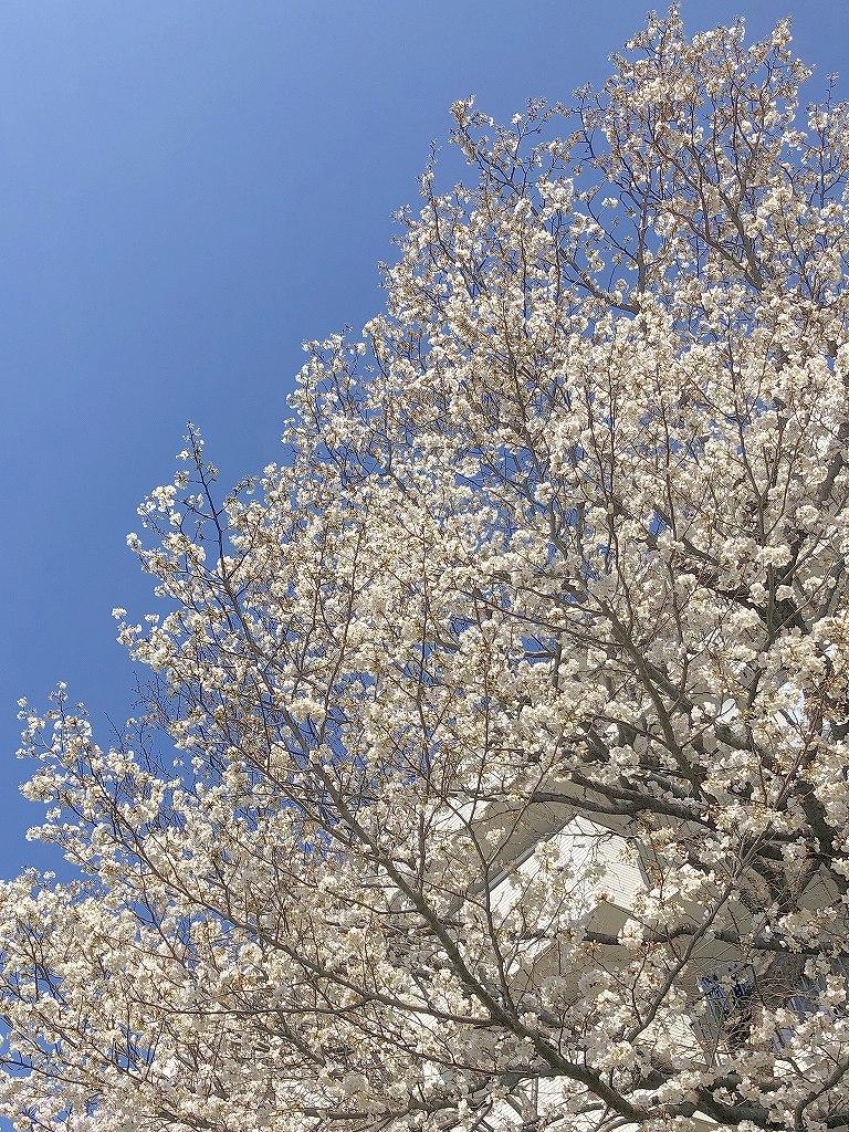 ある風景:Cherry blossom@Yokohama 2021_d0393923_23044887.jpg