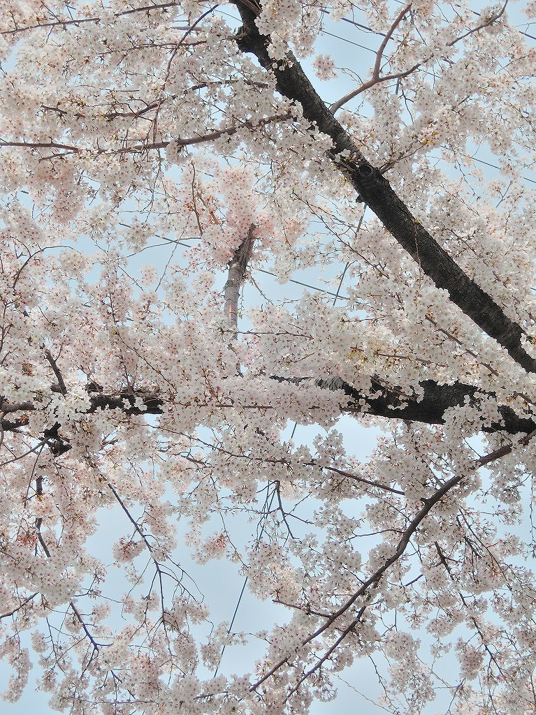 ある風景:Cherry blossom@Yokohama 2021_d0393923_23044927.jpg