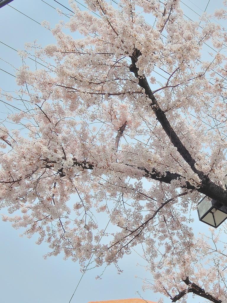 ある風景:Cherry blossom@Yokohama 2021_d0393923_23044963.jpg