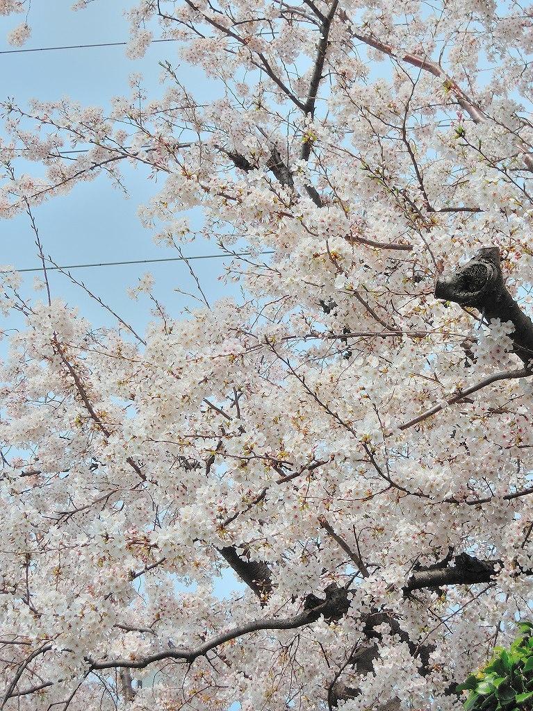 ある風景:Cherry blossom@Yokohama 2021_d0393923_23044974.jpg
