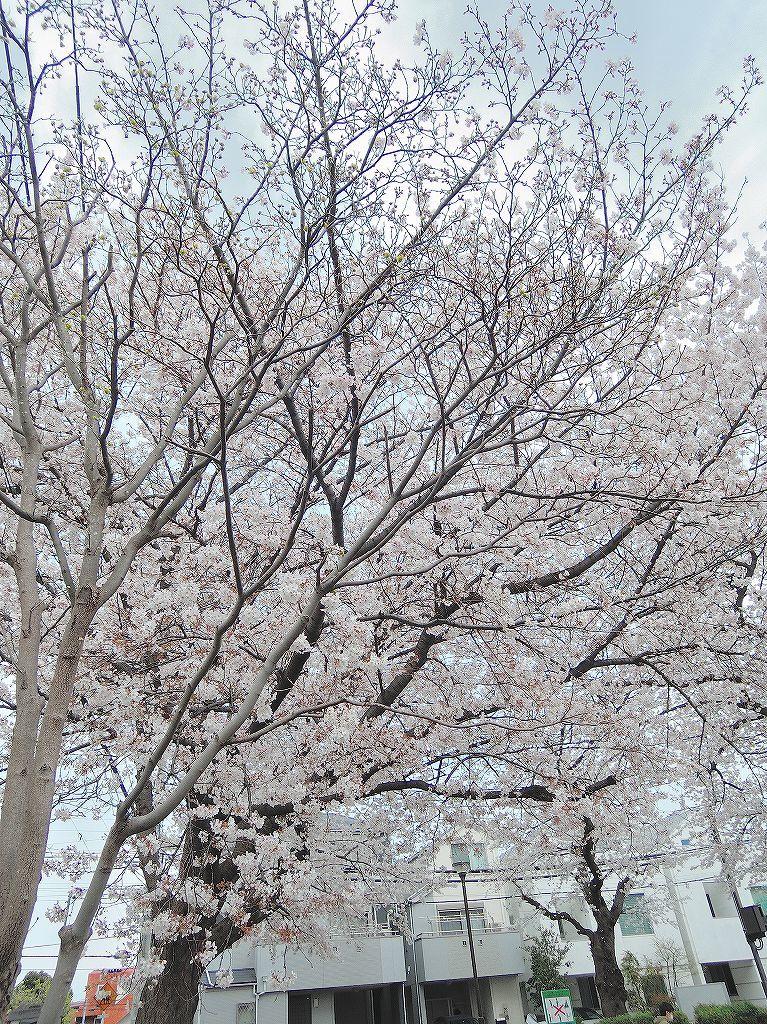 ある風景:Cherry blossom@Yokohama 2021_d0393923_23045032.jpg