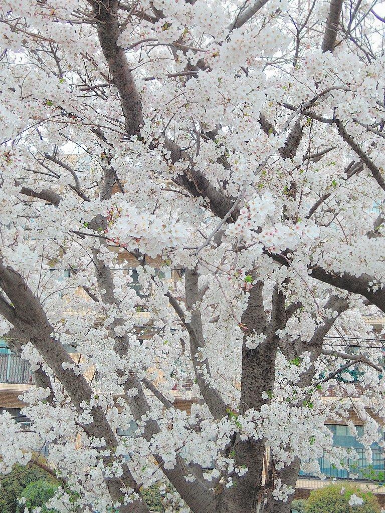ある風景:Cherry blossom@Yokohama 2021_d0393923_23045863.jpg