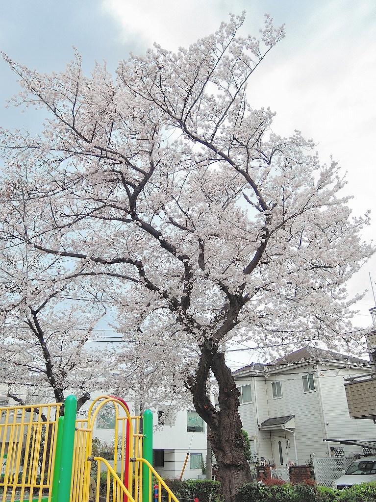 ある風景:Cherry blossom@Yokohama 2021_d0393923_23045871.jpg