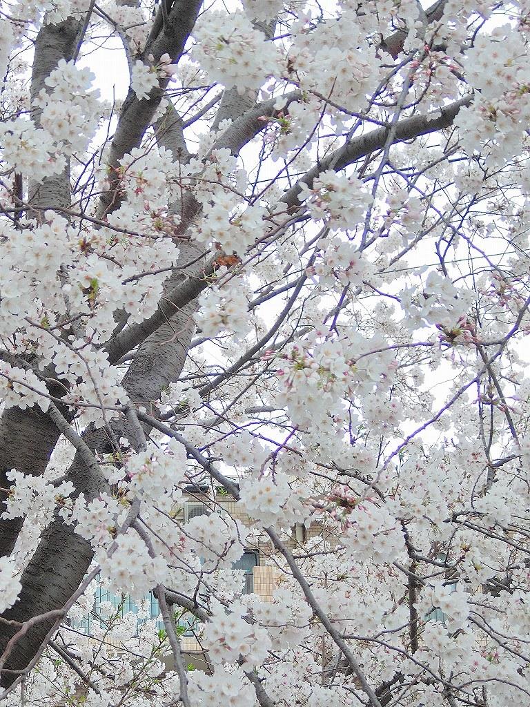 ある風景:Cherry blossom@Yokohama 2021_d0393923_23045932.jpg