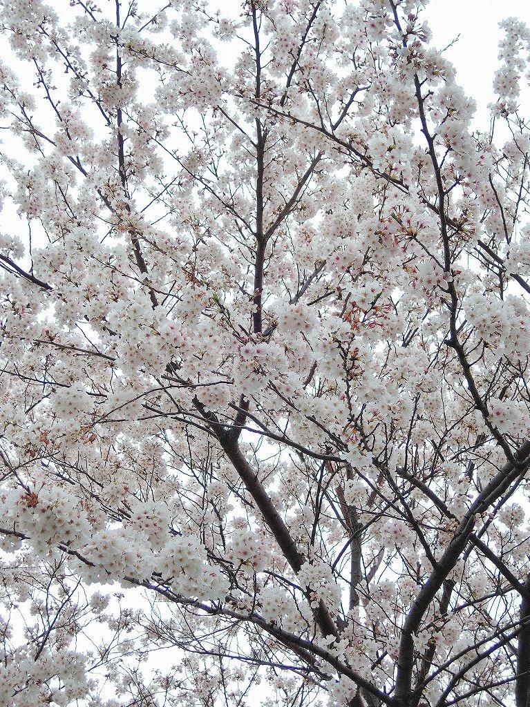ある風景:Cherry blossom@Yokohama 2021_d0393923_23045996.jpg