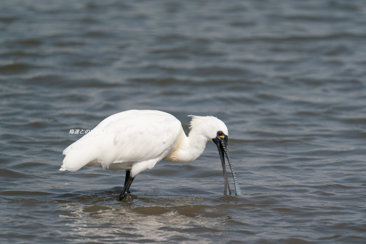 クロツラヘラサギ・・・Black-faced Spoonbill_e0139623_18501186.jpg