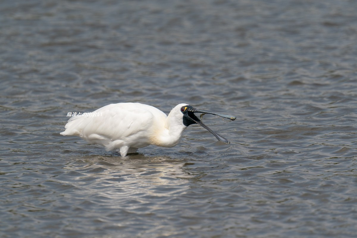 クロツラヘラサギ・・・Black-faced Spoonbill_e0139623_18501762.jpg