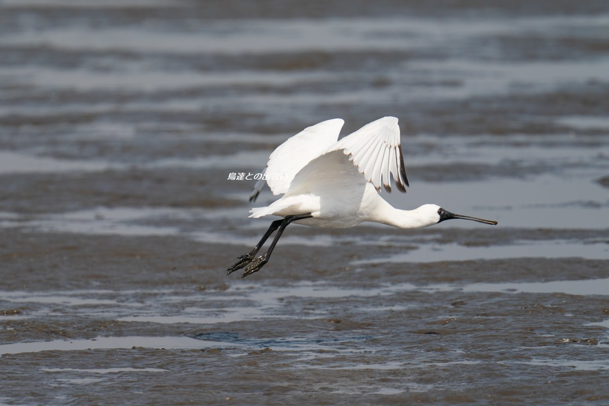 クロツラヘラサギ・・・Black-faced Spoonbill_e0139623_18502944.jpg