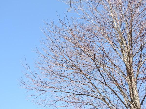 4月5日~15日(木)までメンテナンス休業。場内コブシが咲いて、春らしくなりました(2021年4月5日)_b0174425_14594739.jpg