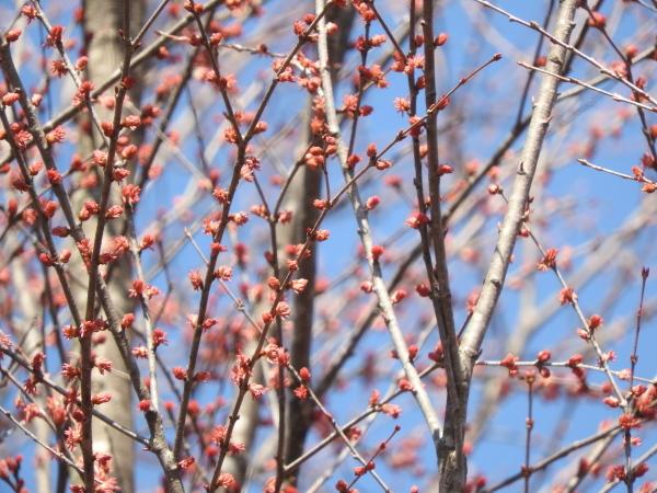 4月5日~15日(木)までメンテナンス休業。場内コブシが咲いて、春らしくなりました(2021年4月5日)_b0174425_15011605.jpg