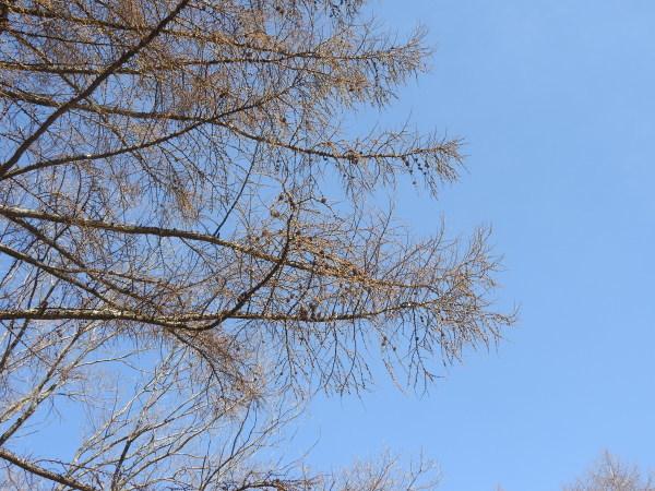 4月5日~15日(木)までメンテナンス休業。場内コブシが咲いて、春らしくなりました(2021年4月5日)_b0174425_15051516.jpg