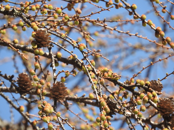 4月5日~15日(木)までメンテナンス休業。場内コブシが咲いて、春らしくなりました(2021年4月5日)_b0174425_15055212.jpg