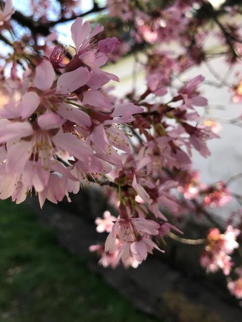 2021 フィラデルフィア桜便り_d0269832_02215002.jpeg