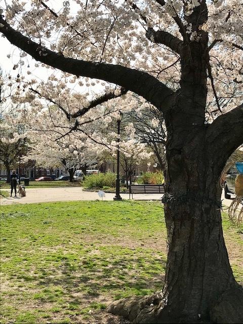 2021 フィラデルフィア桜便り_d0269832_02215009.jpeg
