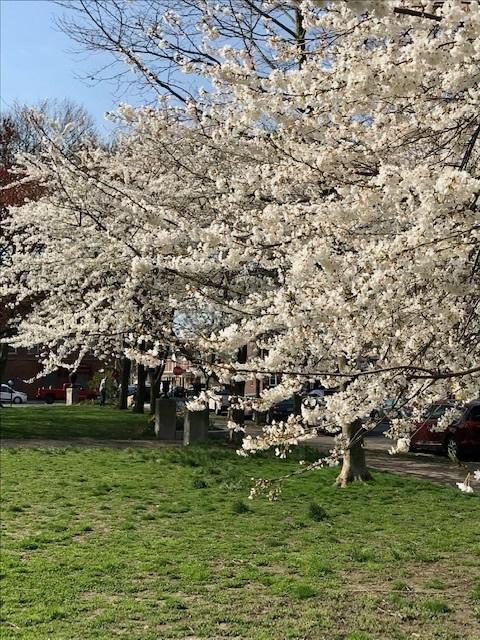2021 フィラデルフィア桜便り_d0269832_02215034.jpeg