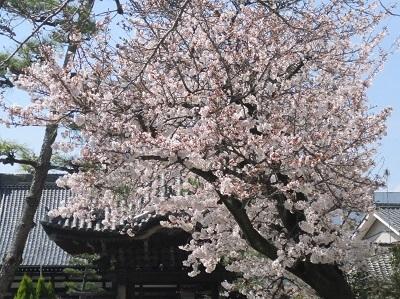 2021年の桜(2)_f0197754_17512986.jpg