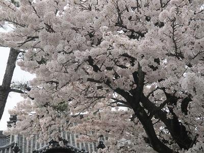 2021年の桜(2)_f0197754_17513423.jpg