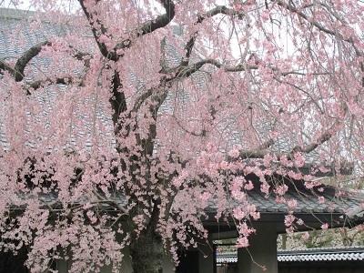 2021年の桜(2)_f0197754_17582331.jpg