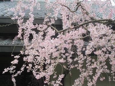 2021年の桜(2)_f0197754_17583221.jpg